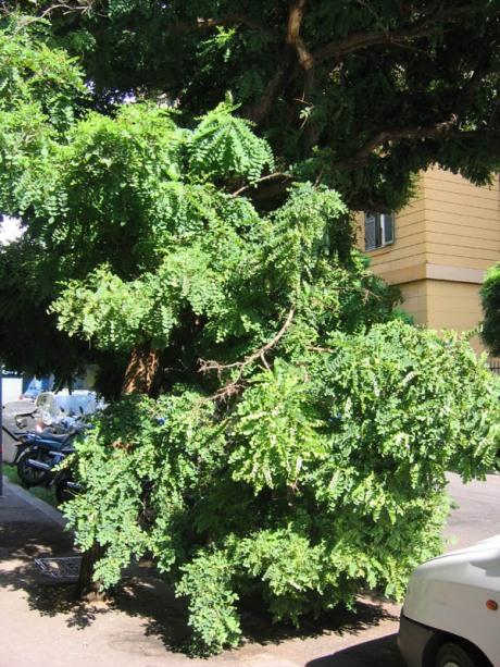 albero disperato